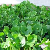 Winter Purslane (Montia perfoliata) #2