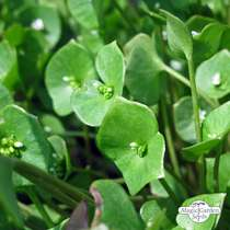 Winter Purslane (Montia perfoliata) #4