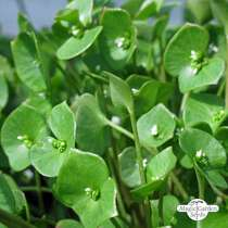 Winter Purslane (Montia perfoliata) #0