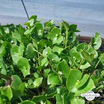 Winter Purslane (Montia perfoliata) #5