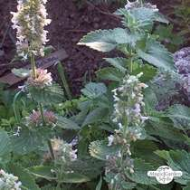 White Catnip (Nepata cataria ssp. citriodora) #2