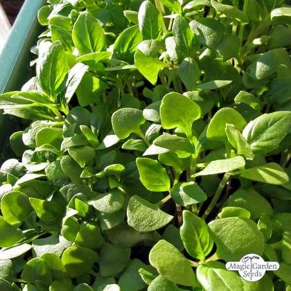 200 Seeds Basil Italian Large Leaved Ocimum Basilicum