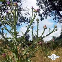 Cotton thistle (Onopordum acanthium) #0