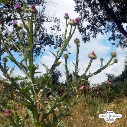 Cotton thistle (Onopordum acanthium)