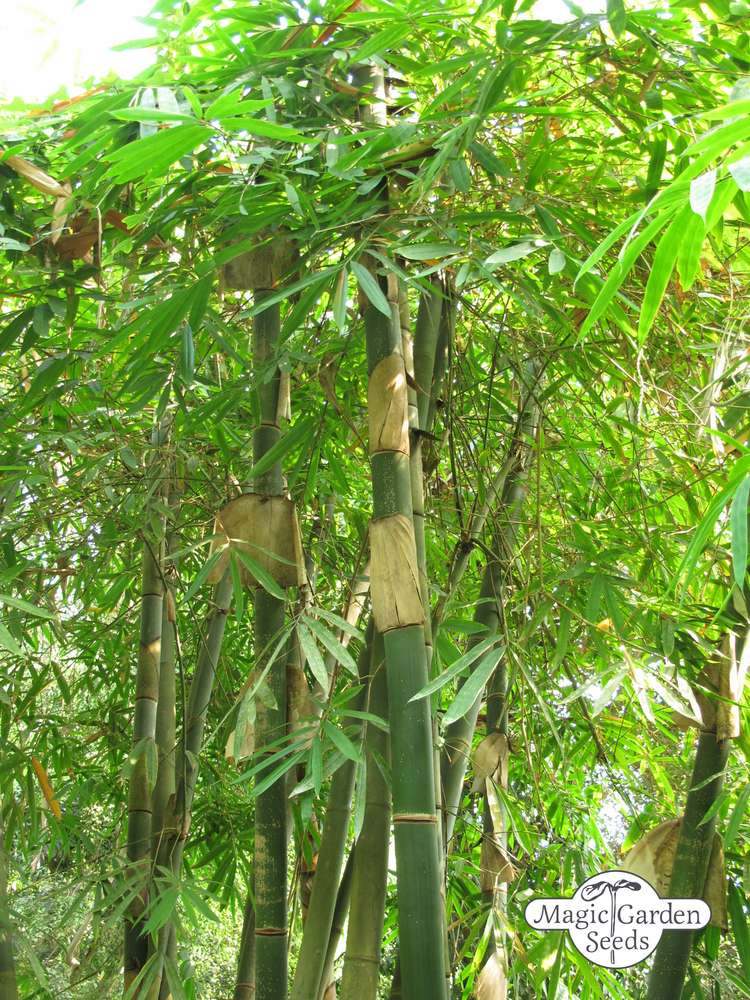Moso Bamboo (Phyllostachys pubescens)