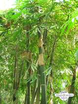 Moso Bamboo (Phyllostachys pubescens) #0