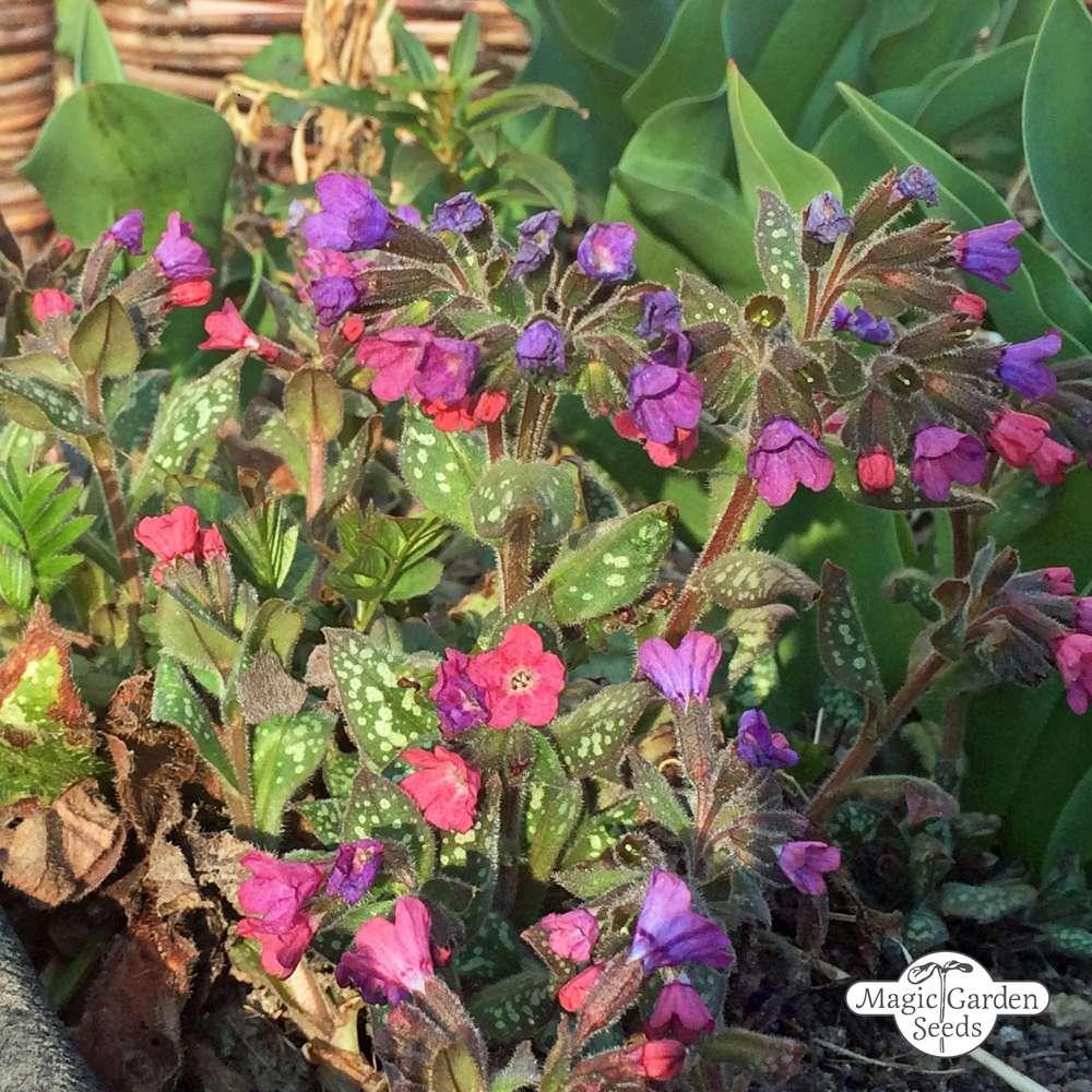 Common lungwort (Pulmonaria officinalis) organic