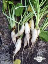 Radish 'White Icicle' (Raphanus sativus) #0