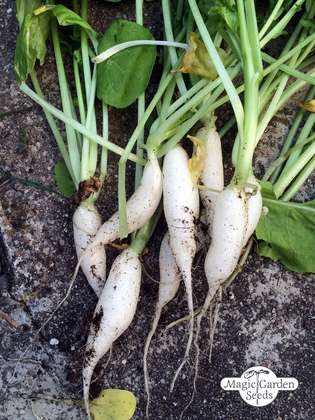 Radish 'White Icicle' (Raphanus sativus)