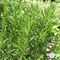 Rosemary (Rosmarinus officinalis) conventional #1