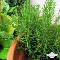 Rosemary (Rosmarinus officinalis) conventional #2