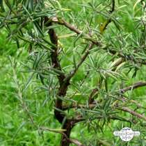 Rosemary (Rosmarinus officinalis) conventional #4