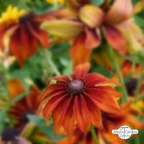 Black-Eyed Susan 'Chocolate Orange' (Rudbeckia hirta) organic #1