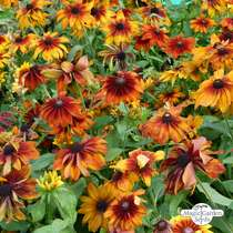 Black-Eyed Susan 'Chocolate Orange' (Rudbeckia hirta) organic #0