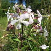 Common Soapwort / Bouncing-Bet (Saponaria officinalis) organic