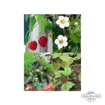 'Heritage strawberry seeds' seed kit with 3 aromatic varieties #2