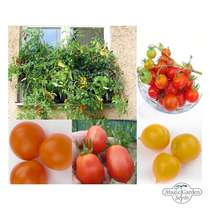 Bushy Balcony & Container Tomatoes - Seed kit #3