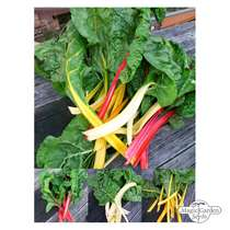 'Colourful chard selection' seed kit #2
