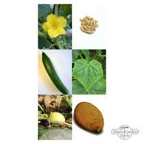 Seed kit: 'Historical Cucumbers & Gherkins' #2