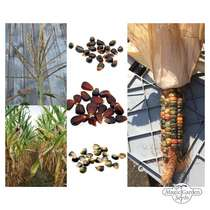 Colourful Native American Sweet Corn/ Maize - Seed kit #2
