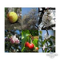 'Wild orchard' seed kit with 3 wild fruit tree varieties #2