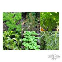 Herbs of French cuisine - seed kit #2