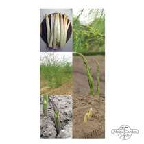 Seed kit: 'Rare asparagus seeds' #2