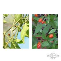 Seed kit: 'Wild chili varieties' #2