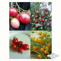 'Sweet Cherry Tomatoes' seed kit #2