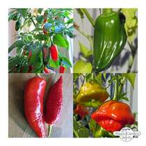 Famous Classic Chilli Varieties (Organic) - Seed kit #2