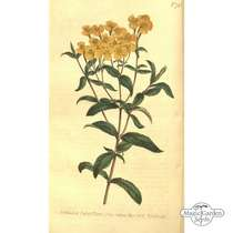 Yauhtli / Mexican Tarragon (Tagetes lucida) conventional - bulk quantity (1g / 1000 seeds) #2