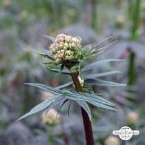 Valerian (Valeriana officinalis) - bulk quantity (100g / approx. 150000 seeds) #1