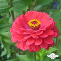 Youth-and-age / Common zinnia 'Dwarf Mix' (Zinnia elegans) organic #1