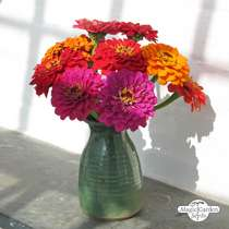 Youth-and-age / Common zinnia 'Dwarf Mix' (Zinnia elegans) organic #2