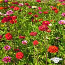 Youth-and-age / Common zinnia 'Dwarf Mix' (Zinnia elegans) organic #3