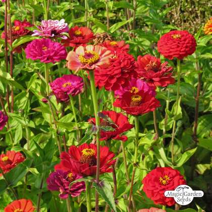 Youth-and-age / Common zinnia 'Dwarf Mix' (Zinnia elegans) organic
